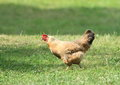 Brown hen hurrying on green grass Stock Photo
