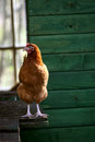 Brown hen on the outside of the house Stock Photography