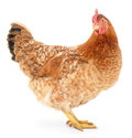 Brown hen Royalty Free Stock Photo