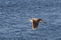 Brown heron in flight over douro river Stock Images