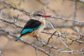 Brown hooded kingfisher sitting on thorny branch Royalty Free Stock Photo