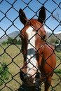 Brown Horse Behind Fence Royalty Free Stock Images