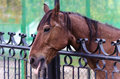 Brown horse behind the fence tongue Royalty Free Stock Photo