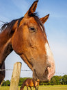 Brown horse closeup portrait of a shining in the sun Royalty Free Stock Image