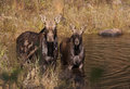 Cow moose and calf feeding in a pond in in Algonquin Park Royalty Free Stock Photo