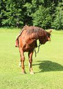 Horse with saddle looking back Royalty Free Stock Photo