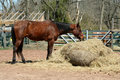 Brown horse feeding on hay Royalty Free Stock Photography