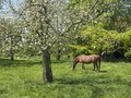 Brown horse and flowering fruit tree in dutch spring orchard near farm