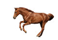Brown horse galloping fast isolated on white Royalty Free Stock Photo