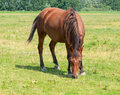 Brown horse grazing alone Stock Photography