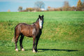 Brown Horse Grazing In Meadow With Green Grass In Summer Sunny D Royalty Free Stock Photo