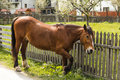Brown horse grazing near a fence Royalty Free Stock Photo