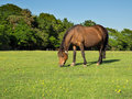Brown horse grazing new forest pony in a grassy field Royalty Free Stock Photography