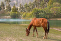A brown horse grazing by the side of wonchi crater lake situated in oromia regional state in south west shewa zone Stock Photos