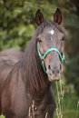 Brown horse with green halter looking at you Stock Photography