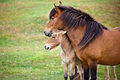Brown horse and her foal in a green field of grass horizontal shot Royalty Free Stock Image