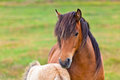 Brown horse and her foal in a green field of grass horizontal shot Royalty Free Stock Photo