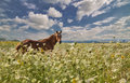 Brown horse in high wild flowers under blue sky Royalty Free Stock Images