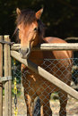Brown horse looking over the gate Royalty Free Stock Photo