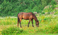 Brown horse pastured on green valley eating fresh grass rural landscape ecology clear concept Stock Photography