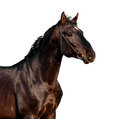Brown horse portrait isolated on white background Royalty Free Stock Photo