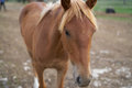 Brown horse on a ranch, meadow, pasture Royalty Free Stock Photo
