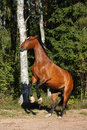 Brown horse rearing up in the forest beautiful Royalty Free Stock Photos