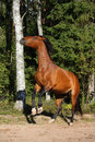 Brown horse rearing up in the forest beautiful Royalty Free Stock Photo
