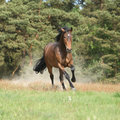 Brown horse running and making some dust in front of the forest summer Stock Image