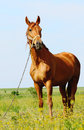 Brown horse standing in field alone summertime Stock Photos