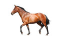 Brown horse trotting fast isolated on white Royalty Free Stock Photo