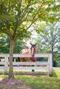 Brown Horse Under A Shady Tree Royalty Free Stock Image