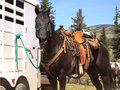 Brown horse in western saddle typical and pack on a tied to a trailer outside Stock Photo
