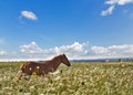 Brown horse in wild white flowers high under blue sky Stock Photos