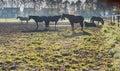 Brown horses at dawn Royalty Free Stock Images