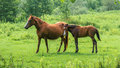 Brown horses on pasture, nature, Animal world Royalty Free Stock Photo