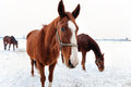 Brown horses in the snow horse a cold winter pasture Royalty Free Stock Photo
