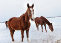 Brown horses in the snow horse a cold winter pasture Stock Photo