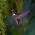 Brown hummingbird in flight Royalty Free Stock Photo
