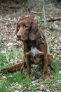 Brown Hunting Dog Royalty Free Stock Photos