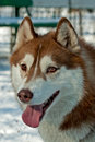 Brown husky Royalty Free Stock Images
