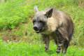 Brown hyena the in the grass Stock Image