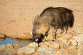 Brown hyena a hyaena brunnea drinking water kalahari desert south africa Royalty Free Stock Photo