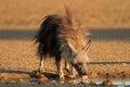 Brown Hyena at waterhole