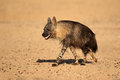 Brown hyena hyaena brunnea kalahari desert south africa Royalty Free Stock Images