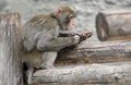 Brown japanese macaque snow monkey the large image of a on the nature Stock Images