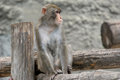 Brown japanese macaque snow monkey the large image of a on the nature Royalty Free Stock Photography