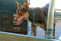 Brown kelpie working dog chained in work ute Royalty Free Stock Photo