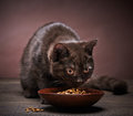 Brown kitten and cat food Royalty Free Stock Photo