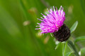 Brown knapweed blooming in front of a green background Stock Photos